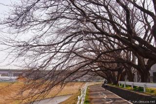 境川CR 桜のトンネル