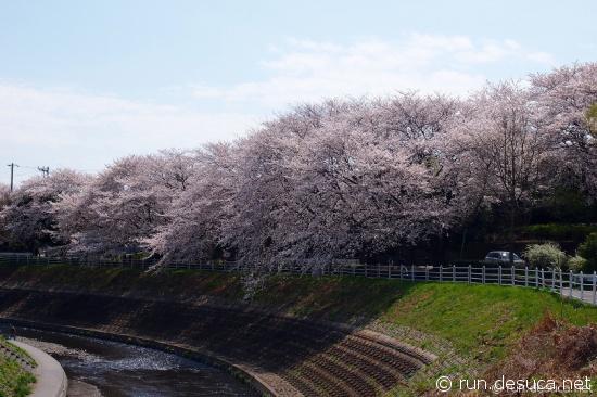 境川CR 桜トンネル