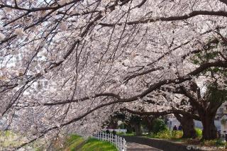 境川 桜のトンネル 湘南台