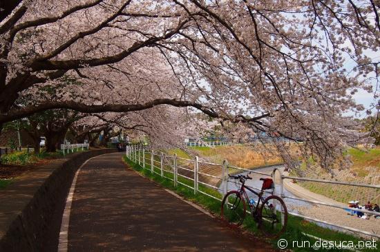 境川CR 桜のトンネル 2013年