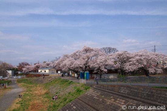 羽村堰 羽村桜まつり 2013