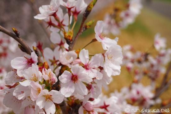 多摩川サイクリングロード 桜 2013
